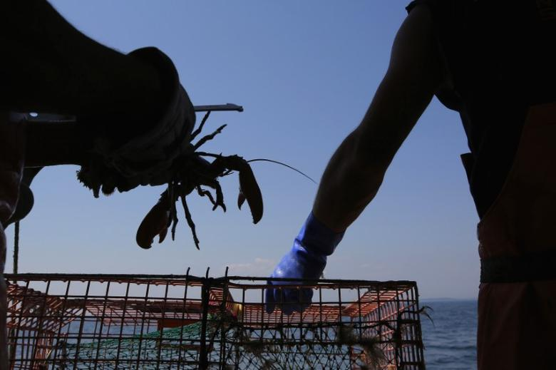 Lobsterman Steve Train checks a lobster while hauling traps in his boat ''wild Irish Rose'' in the waters off Cape Elizabeth, Maine August 21, 2013. REUTERS/Brian Snyder