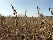Plantas de soja listas para ser cosechadas en la ciudad de Chacabuco ,Argentina. 24 de Abril, 2013. Excesos y escasez de humedad en el suelo dificultan, simultáneamente, la siembra de la soja 2016/17 en distintas partes de la principal provincia agropecuaria de Argentina, dijo el lunes un experto agroclimático. REUTERS/Enrique Marcarian