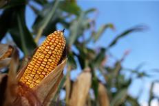 Una mazorca en una granja en Morocco, EEUU, sep 6, 2016. La firma de análisis privada Informa Economics elevó su proyección para la plantación de soja en Estados Unidos en el 2017 y redujo la estimación para las plantaciones de maíz, dijeron el jueves dos fuentes.  REUTERS/Jim Young