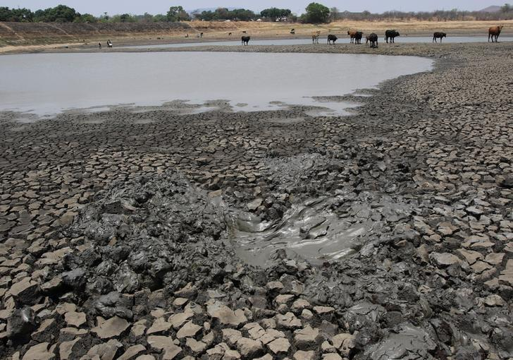 Cattle stand over cracked earth as water levels drop in a dam near Mount Darwin, Zimbabwe, October 26, 2016. REUTERS/Philimon Bulawayo