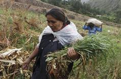 """En la imagen, una mujer cosecha cebada mientras un hombre lleva una bolsa de maíz en el Cuzco, Perú.11 de abril, 2016. Perú amplió el miércoles la declaración de emergencia hídrica a más de la mitad de sus regiones, incluyendo varias provincias de Lima afectadas por sequías, y prepara medidas para reducir el """"alto riesgo"""" por la falta de lluvias. REUTERS/Janine Costa  - RTX29J37"""