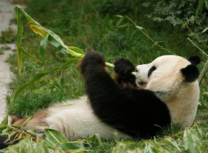 Giant panda Long Hui eats bamboo in his enclosure at Schoenbrunn zoo in Vienna, Austria August 23, 2007.  REUTERS/Heinz-Peter Bader/Files