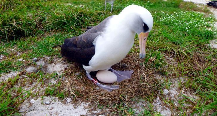 Wisdom, a Laysan albatross, at least 66 years old and the world's oldest known breeding wild bird incubates her egg in Midway Atoll National Wildlife Refuge and Battle of Midway National Memorial, Hawaii, U.S. on December 3, 2016.   Courtesy Kristina McOmber/Kupu Conservation Leadership Program & USFWS/Handout via REUTERS