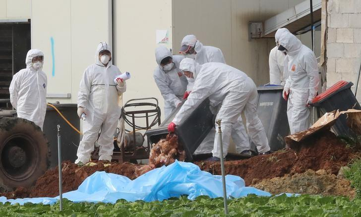 South Korean health officials bury chickens at a poultry farm where the highly pathogenic H5N6 bird flu virus broke out in Haenam, South Korea, November 17, 2016. Yonhap/via REUTERS