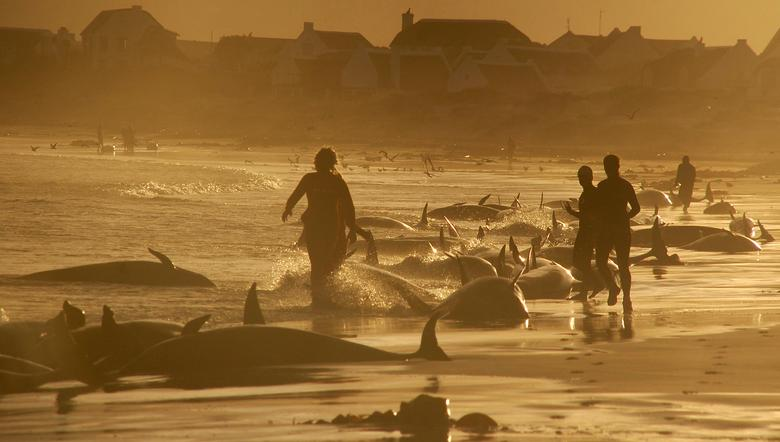 FILE PHOTO: Stranded false killer whales are seen on a beach at sunrise, at Kommetjie near Cape Town May 30, 2009. REUTERS/Chad Chapman