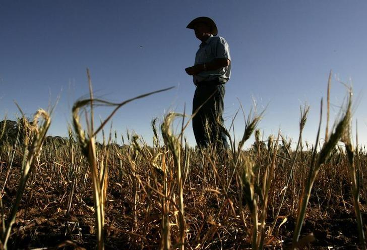 Grains farmer Ridley stands over his failed wheat crop on his farm near the town of West Wyalong October 16, 2007. REUTERS/Mick Tsikas/Files