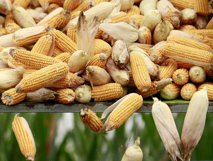 FILE PHOTO: A harvester unloads corn to a cargo truck at a farm in Gaocheng, Hebei province, China, September 30, 2015. REUTERS/Kim Kyung-Hoon/File Photo