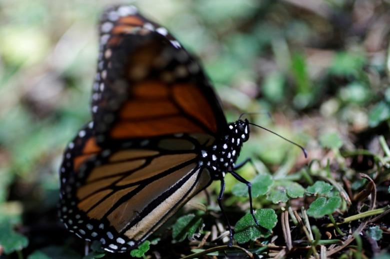 A monarch butterfly rests on the ground at the Sierra Chincua butterfly sanctuary on a mountain in Angangeo, Michoacan November 24, 2016.  REUTERS/Carlos Jasso