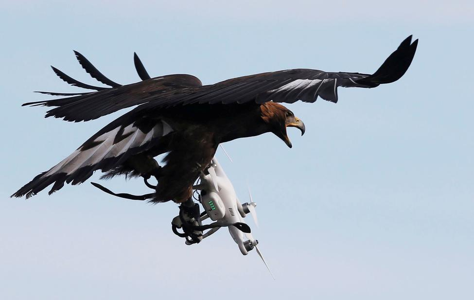 Águila versus Dron ?m=02&d=20170210&t=2&i=1172198559&w=976&fh=&fw=&ll=&pl=&sq=&r=2017-02-10T173534Z_25791_RC1878B58AD0_RTRMADP_0_FRANCE-AIRFORCE-CONTROL