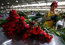 Una empleada organiza buqués de flores para exportación, antes del Día de San Valentín, en una granja en Facatativa, Colombia. 1 de febrero, 2017. Imagen tomada el 1 de febrero, 2017. Colombia está a punto de terminar la exportación de 500 millones de tallos a Estados Unidos para la fiesta de San Valentín, un 15 por ciento de su producción anual de flores, informó el viernes un dirigente del principal gremio del sector. REUTERS/Jaime Saldarriaga