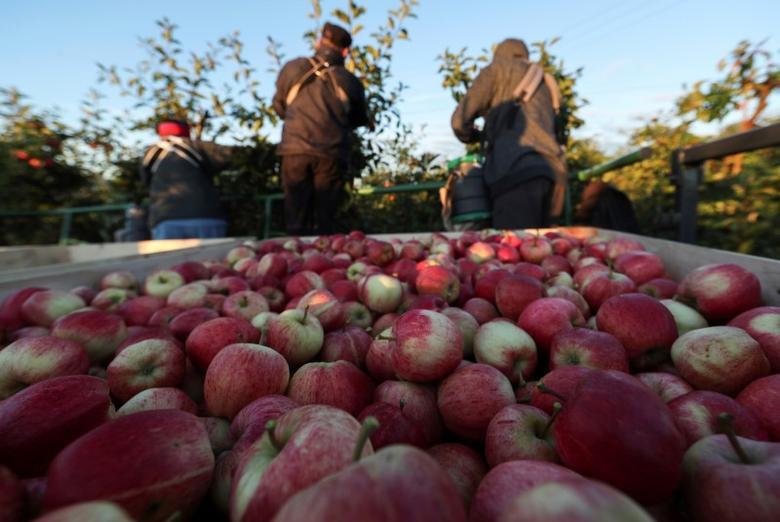 Migrant workers pick apples at Stocks Farm in Suckley, Britain October 10, 2016.  REUTERS/Eddie Keogh