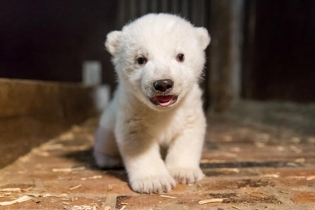3月7日、ドイツのベルリン動物公園は、生後4カ月のホッキョクグマの赤ちゃん「フリッツ」が、肝炎による合併症で死んだと発表した。1月撮影の提供写真(2017年 ロイター/Tierpark Berlin)