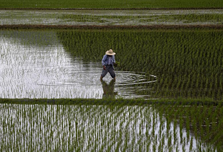 FILE PHOTO: A farmer plants saplings in a rice field in Satsumasendai, Kagoshima prefecture, Japan, July 8, 2015. REUTERS/Issei Kato/File Photo