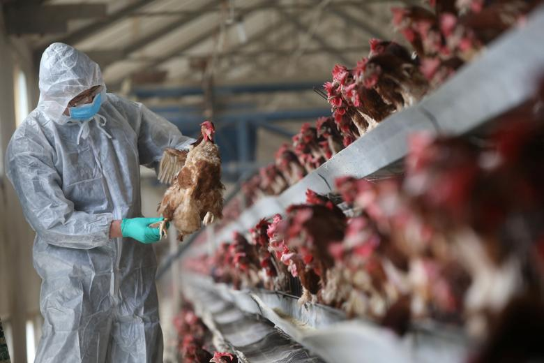 A quarantine researcher checks on a chicken at a poultry farm in Xiangyang, Hubei province, China, February 3, 2017. Picture taken February 3, 2017. REUTERS/Stringer
