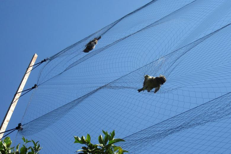 Birds are seen trapped in mist nets near the village of Ayios Theodoros in Larnaca, Cyprus, September 27, 2012. BirdLife Cyprus/Handout via REUTERS