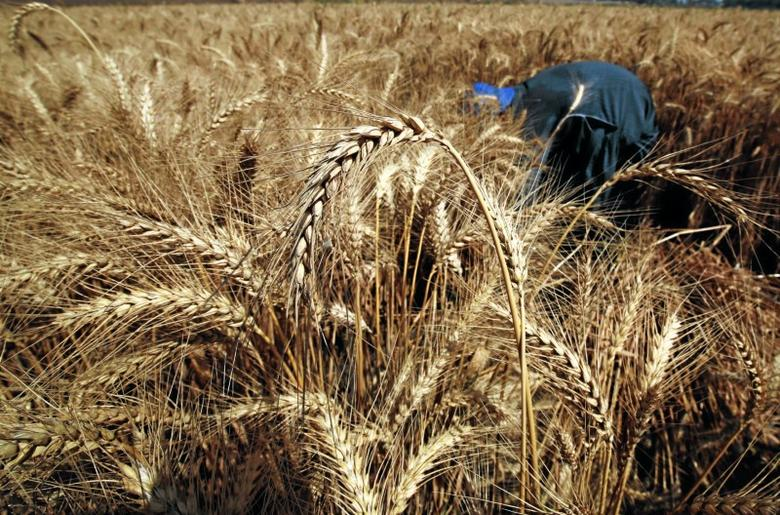 Wheat is seen in a field during the harvest on Qalyub farm in the El-Kalubia governorate, northeast of Cairo, Egypt, May 1, 2016. REUTERS/Amr Abdallah Dalsh/File Photo