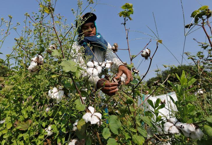 FILE PHOTO: A worker harvests cotton in a field on the outskirts of Ahmedabad, India, October 24, 2016. To match Special Report MONSANTO-INDIA/   REUTERS/Amit Dave/File Photo