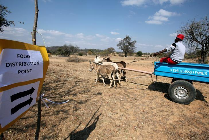 A villager arrives to collect food aid provided by the United Nations World Food Programme (WFP) at a distribution point in Bhayu, Zimbabwe, September 14, 2016. REUTERS/Philimon Bulawayo/File Photo
