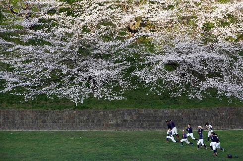 Cherry blossoms of Japan