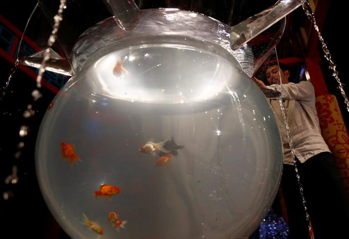 Japanese Art Aquarium artist Hidetomo Kimura puts goldfish in a tank as he prepares the Art Aquarium exhibition in Tokyo, Japan July 5, 2017. Kim Kyung-Hoon