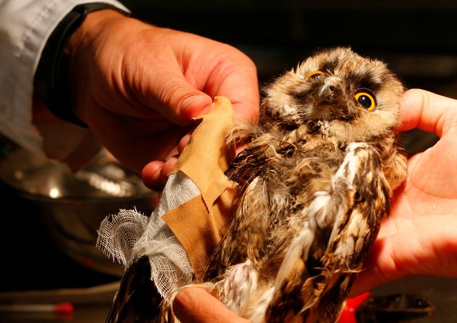 An injured owl has its broken wing fixed at a hospital for wild birds in Hortobagy National Park, Hungary June 27, 2017. Laszlo Balogh