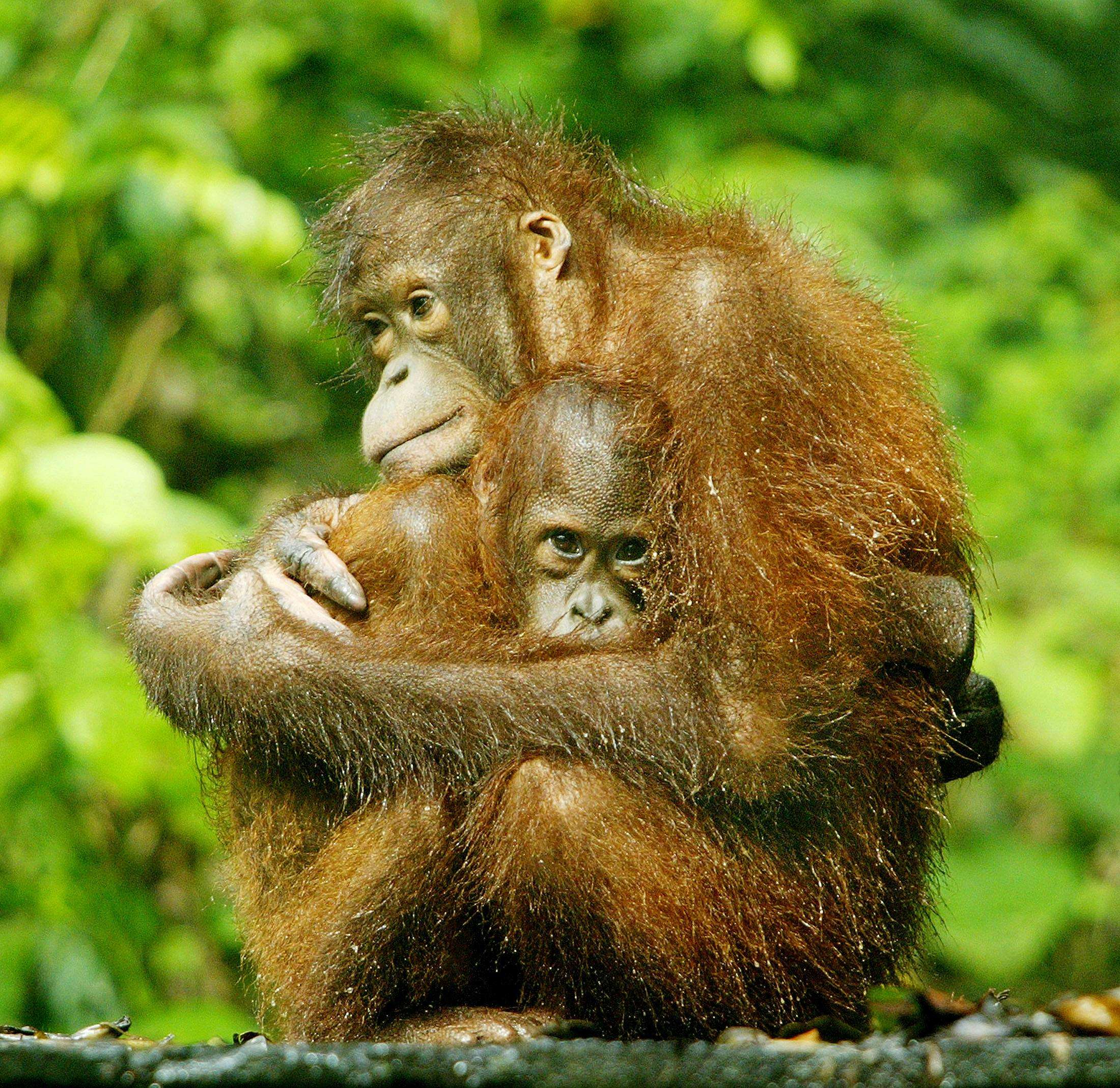 An orangutan hold its baby at the Sepilok Orangutan Rehabilitation Center in the Malaysian state of Sabah on Borneo island on January 11, 2004.   Bazuki Muhammad
