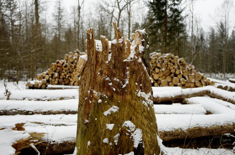 Logged stub and trees are seen at one of the last primeval forests in Europe, Bialowieza forest, near Bialowieza village, Poland February 15, 2018. Kacper Pempel
