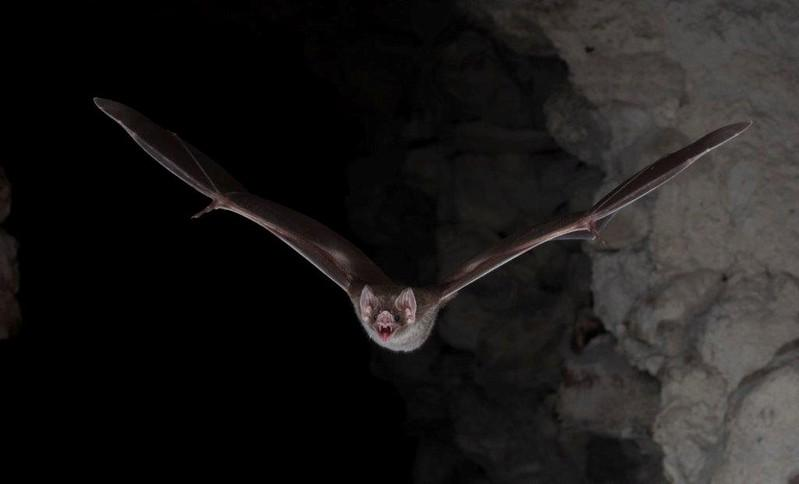 A common vampire bat (Desmodus rotundus) flies during its nocturnal hunt in Belize in this handout photo released on February 20, 2018.  Brock Fenton/Handout via .