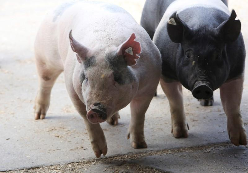 Pigs enter a barn at the 2014 World Pork Expo in Des Moines, Iowa June 4, 2014. Lane Hickenbottom