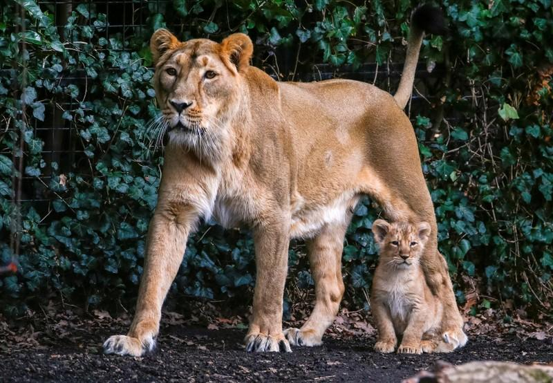 A female Asian lion is seen with its cubs in the Planckendael zoo in Mechelen, Belgium March 30, 2016.   Yves Herman