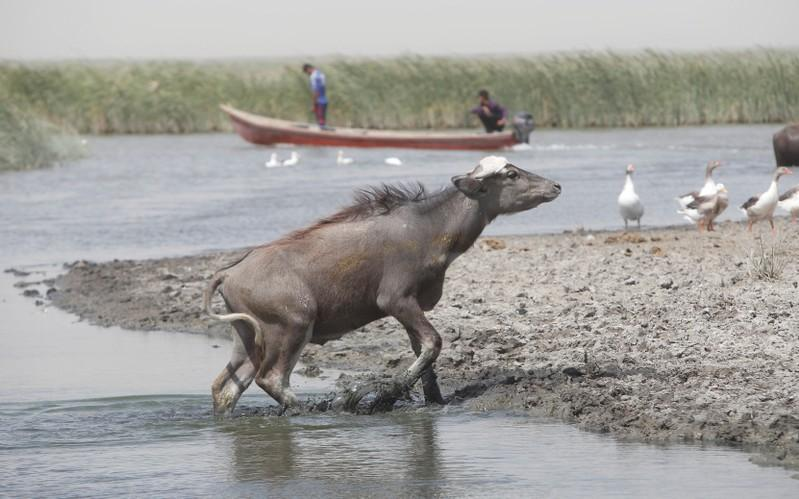 A water buffalos is seen in the waters of the marshes in Nassiriya, Iraq, June 26, 2018. Picture taken June 26, 2018. Essam Al-Sudani