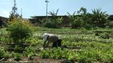 Amid economic hard times, Venezuelans turn to city farming