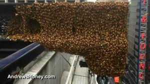 Honey bees take over Times Square