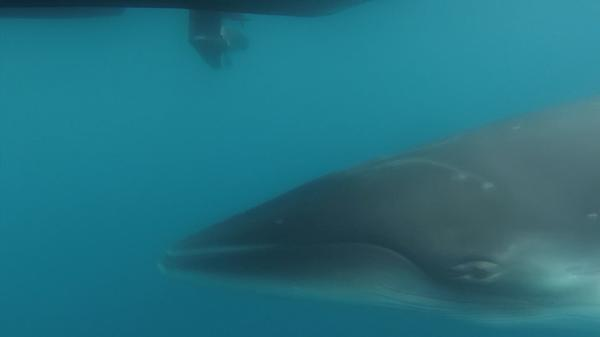 Whalecam reveals secrets of Antarctic minke