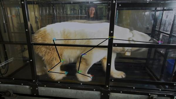 Treadmill tests show polar bears to be efficient walkers