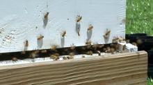 大都会ニューヨークで増える蜂の巣箱、その理由は?(6日)