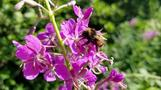 First at-risk bumblebee species genome sequenced