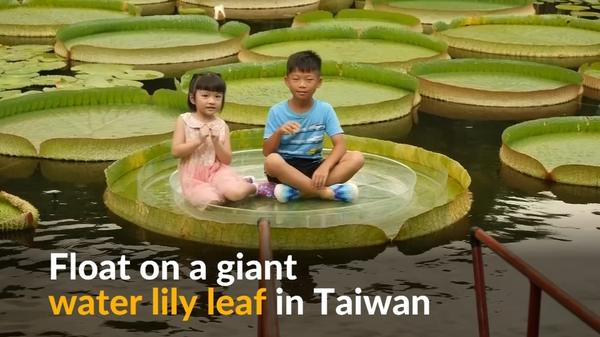 People balance on giant water lily leaf in Taiwan