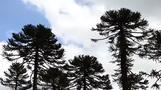 العلماء في تشيلي يسابقون الزمن لإنقاذ أشجار \