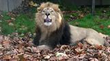 ロンドン動物園のライオン、秋を満喫(18日)