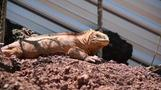 Land iguanas return to Santiago Island in the Galapagos