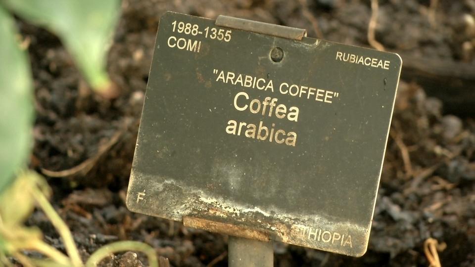 Many coffee species threatened with extinction - scientists