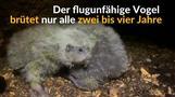 Neuseeland: Babyboom beim Kakapo