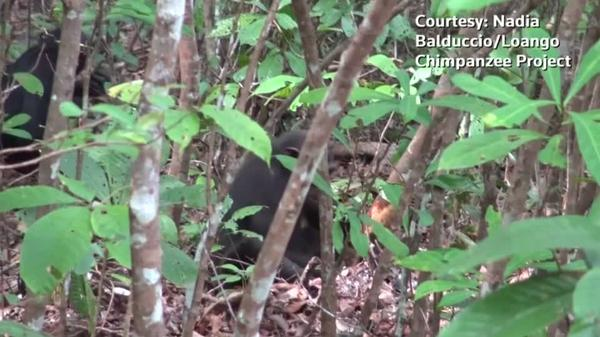 Hungry chimps crack open tortoise shells for food