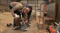 William and Kate try their hand at sheep shearing
