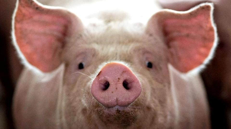 China's hog crisis: U.S. farmers look to cash in