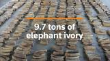 Singapore seizes record volume of elephant ivory