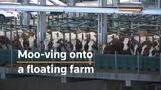 Cows try out Rotterdam's unusual \