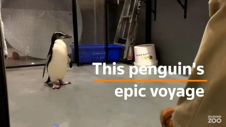 Adventurous penguin rescued after epic journey across Tasman Sea