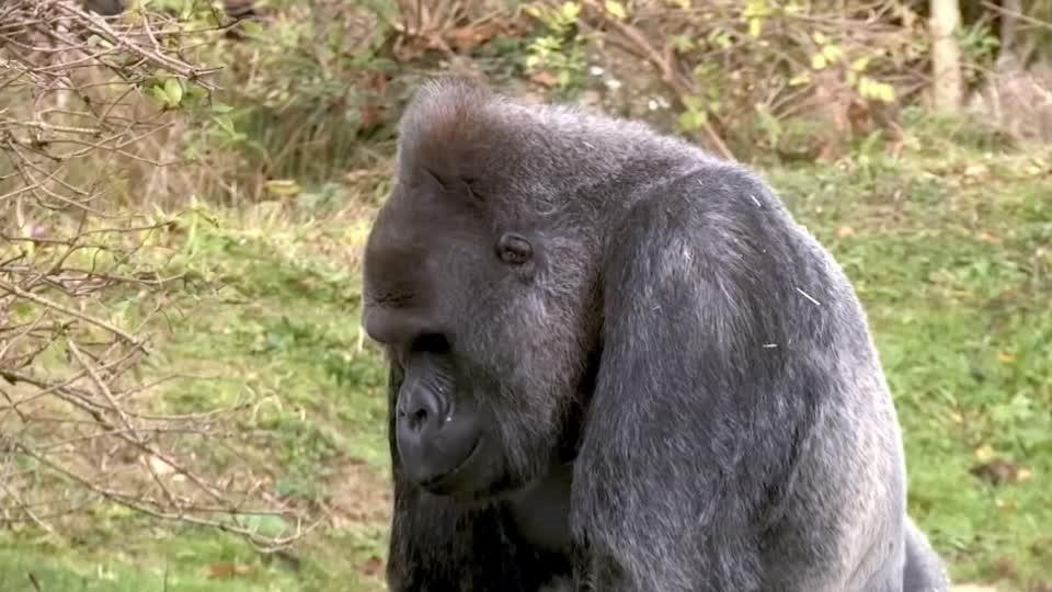 Scientists find how deadly malaria parasite jumped from gorillas to...